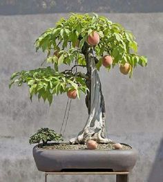 Passion fruit bonsai.