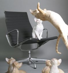 Just some cats on an Eames Aluminum Based Chair. No big.