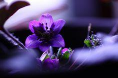 ●gooのブログパーツからデジブックを作りました。 雪割草・水仙・葉ボタン - ・・金沢から発信のブログ 風景と花・・