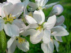 apple blossoms | Flickr - Photo Sharing!