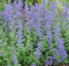 High Altitude Gardening: Long-Blooming Perennials LIST - Anime Line Cat Mint Plant, Mint Plants, Growing Flowers, Planting Flowers, Boarder Plants, Growing Catnip, Plants That Repel Bugs, Catnip Plant, Long Blooming Perennials