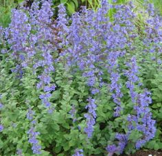 Catmint, loves sun, great boarder plant, smells pretty and perfect for butterflies and such...
