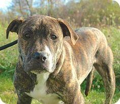 KINGSTON...Blacklick, OH - Pit Bull Terrier/American Bulldog Mix. Meet Kingston, a dog for adoption. http://www.adoptapet.com/pet/11942863-blacklick-ohio-pit-bull-terrier-mix