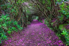 beautiful paths to walk: rhododendron tunnel in Reenagross Park, Kenmare Ireland. Beautiful Roads, Beautiful World, Beautiful Places, Kenmare Ireland, Dame Nature, Tree Tunnel, Forest Path, Forest Floor, Garden Route