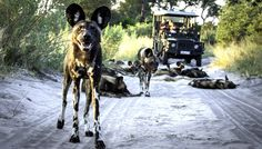 The Best Botswana Safaris Tailormade for you by Taga Safaris - The Experts in African Travel African Safari, Wildlife, Dogs, Photos, Travel, Animals, Animales, Pictures, Viajes
