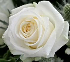 The beauty of Avalanche+, the stunning white rose of Meijer Roses! (photo by LM Flower Fashion)