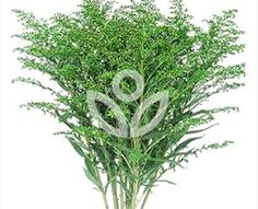 Solidago Tara Green - Spray Asters - Asters - Flowers by category | Sierra Flower Finder