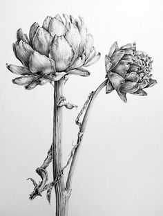 Dianne Sutherland, Botanical Artist Dried Artichoke Heads - graphite drawing