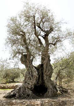 60 Best Olive Tree Images Olive Tree Tree Olive