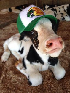 As a Wisconsinite, I can get behind this cow trend, here's my favorite. Baby Farm Animals, Baby Cows, Baby Animals Pictures, Cute Little Animals, Cute Animal Pictures, Cute Funny Animals, Animals And Pets, Funny Cow Pictures, Cute Baby Cow
