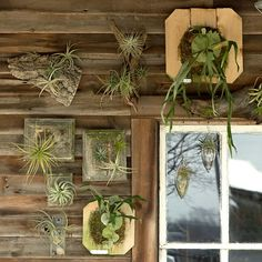 Mounted Staghorn Fern with airplants