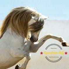 """Molti hanno sospirato per i """"bei tempi andati"""" e hanno rimpianto """"la scomparsa del cavallo"""", ma oggi, che solo quelli che amano i cavalli li possiedono, è un'epoca di gran lunga migliore per i cavalli. C. W. Anderson  Segui e leggi il Blog su http://www.equestrianitaly.com  #cavallo #horse #equitazione #roma #horseRidingholidaysineurope #horsebacktrails #riding #horseridingvacations #horseridininitaly"""
