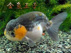 透明鱗白黒らんちゅう (とうめいりんしろくろらんちゅう)never seen goldfish coloration like this before!