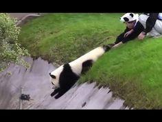 The Happiest Job Ever: A Panda Nanny - YouTube
