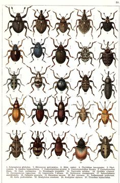 "G.G. Yakobson (1905-1915) - ""Beetles of Russia"": table 50"