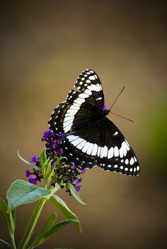 North American butterfly with blue-black wings crossed by a broad white band Butterfly Bush, Butterfly Kisses, Butterfly Flowers, Beautiful Bugs, Beautiful Butterflies, Moth Caterpillar, Bugs And Insects, Chenille, Beautiful Creatures