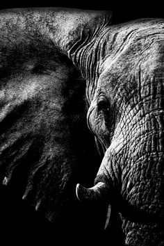 Discover recipes, home ideas, style inspiration and other ideas to try. Elephant Love, Elephant Art, Elephant Tattoos, African Elephant, Elephant Black And White, Animals Black And White, Elephant Photography, Animal Photography, White Photography