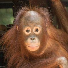 Taymur: Adoptions - Borneo Orangutan Survival Australia Borneo Orangutan, Chimpanzee, Orangutans, Cute Animals, Draw Animals, Lemur, Gorillaz, Primates, Pet Store