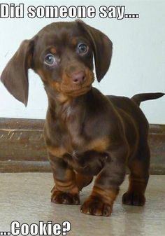 Dachshund Puppies are so cute. I have a long-haired black-tan dachshund. They're sweet, but yippy! Baby Animals, Funny Animals, Cute Animals, Wild Animals, Cute Puppies, Dogs And Puppies, Baby Dogs, Dachshund Love, Daschund