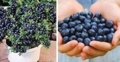 Deja de comprar arándanos. ¡Aquí verás cómo cultivar tu propio suministro permanente en casa!