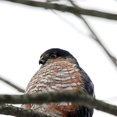 Sharp Shinned Hawk Profile - Guelph Ontario Canada #art #photography #birdsofprey #hawks #naturelovers #artforsale