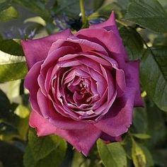 Rosa 'Senteur Royal' (Germany, 2002)