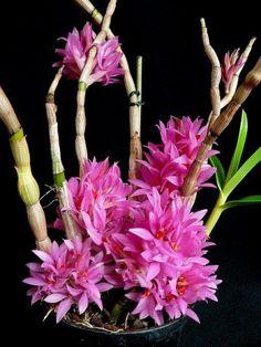 Orchids by Marlow - Dendrobium bracteosum var. tannii x sib