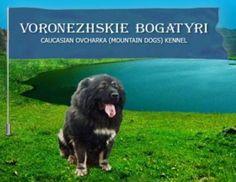 Voronezhskie Bogatyri caucasian mountain dog (caucasian ovcharka) kennel
