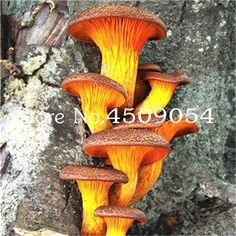 200 Pcs 18 Kinds Rare Mushroom Seeds Funny Succulents Plants Edible Organic Vegetable Bonsai Pot For Home and Garden Decoration Mushroom Seeds, Mushroom Art, Mushroom Fungi, Orange Mushroom, Mushroom Hunting, Mushroom Chicken, All Nature, Science And Nature, Wild Mushrooms