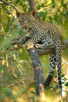 Leopard cub in tree by Ryan Jack on 500px