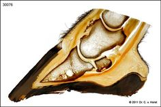 Anatomical photograph by Dr. Christoph von Horst: Exostosis horse hoof. Print in size appr. 20 x 30 cm / 8 x 12 inches. The copyright notice, the