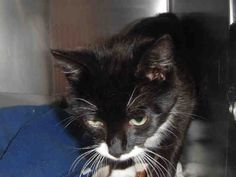 I am the gorgeous cat named Mozart and it is fabulous to meet you. How long have you been looking for a cat to fill that kitty-shaped hole in your heart? I am a neutered male, black and white Domestic Shorthair and I am about 1 year and 1 month old (ID#A078694)