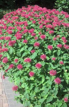 Double Flower Dwarf Monarda | Pink Supreme Dwarf Bee Balm