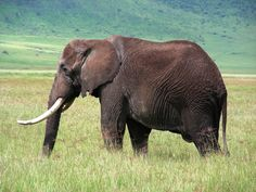 Elephant photo taken in Tanzania by stellab Free Sound Effects, Elephants Photos, Elephant Love, Tanzania, Vintage Images, Free Stock Photos, Alphabet, Africa, History
