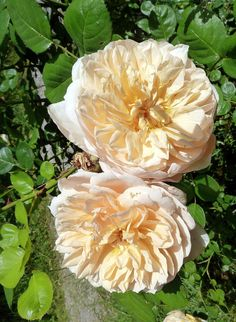 'Charity' | Shrub. English Rose Collection. Austin 1997 | Flickr - © Paco Garin