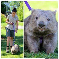Millie the wombat,harness training,Symbio zoo NSW Australia