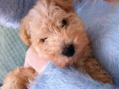 Gus my 8 week old Lakeland terrier.