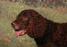 American Water Spaniel dog breed description and characteristics Welsh Springer Spaniel, Boykin Spaniel, Spaniel Breeds, Spaniels, Calm Dog Breeds, Dog Breeds That Dont Shed, Dog Breeds Pictures, Dog Wallpaper, Dog Crafts