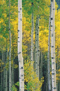 Quakies, or quaking aspen   forestry.about.com