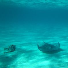 Snorkeling with these guys is pretty incredible!  Stingray City, Grand Caymans.