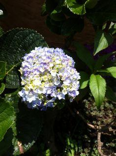 Dos colores. Misma flor.