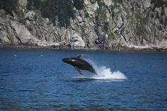 Humpback Whale | Kenai Fjords National Park, Alaska (pinned by haw-creek.com)