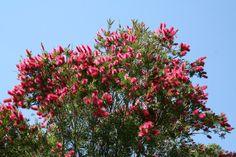 Callistemon Western Glory Bottlebrush, a good choice for a tough area Terra Australis, European Map, Street Trees, Specimen Trees, Small Trees, Native Plants, Holy Spirit, Red Flowers, Evergreen