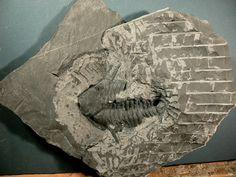 Trilobite Viaphacops claviger (Haas,1969)