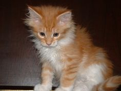 Maine Coon Cats Kittens I just adore these cute cat images! Cute Cats And Dogs, Cute Kittens, Cats And Kittens, Cute Cat Breeds, Beautiful Cat Breeds, Carnivore, Maine Coon Kittens, Owning A Cat, Orange Cats