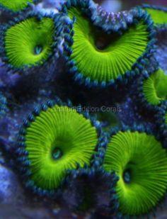 Nuclear Green Zoanthids