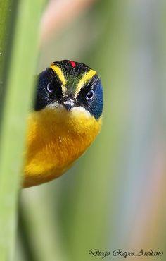 Sietecolores or Many-Coloured Rush-Tyrant (Tachuris rubrigastra rubrigastra) - Chile Different Birds, Kinds Of Birds, All Birds, Little Birds, Love Birds, Exotic Birds, Colorful Birds, Pretty Birds, Beautiful Birds