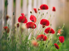 Return of the Poppies by tvurk on DeviantArt