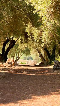 Olive Hill at Kunde Family Estate features 150 year old olive trees and makes a beautiful setting for an olive themed winery wedding