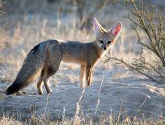 CAPE FOX  Photographed by Jacques de Klerk via Frans de Waal - Public Page FB